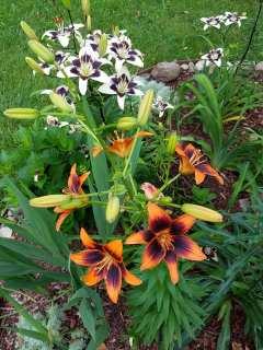 lilies 2018