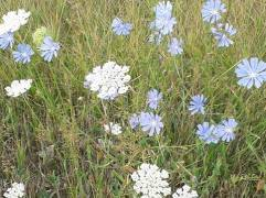 chicory and Queen Anne's lace