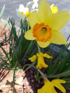 daffodil 2019