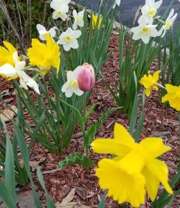 tulip pink 042519